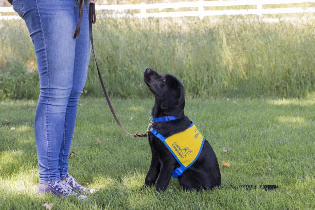 black labrador puppy sitting in grass
