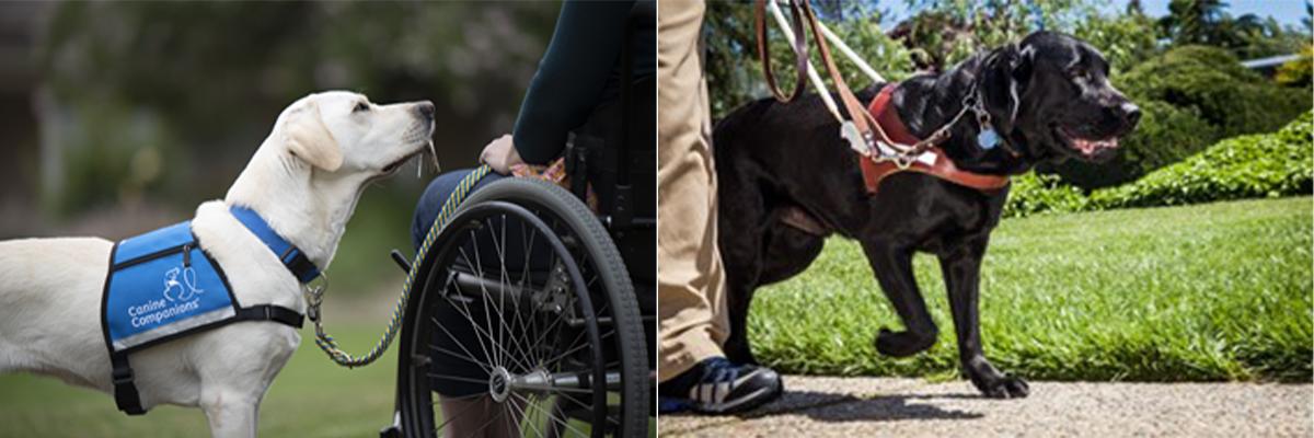 canine companions black labrador service dog walking on a leash