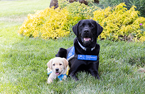 Service dog and puppy in training seating in the grass