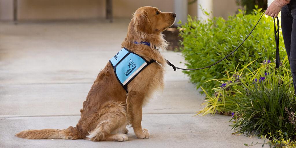 Canine Companions service dog sitting